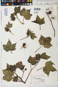 Image of Gossypium mexicanum