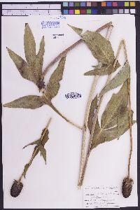 Rudbeckia montana image