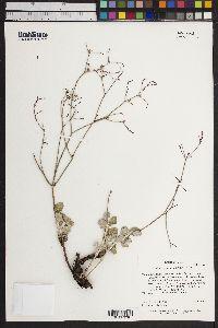 Image of Eriogonum ammophilum