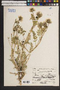 Astragalus cibarius image