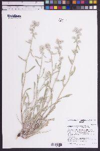 Cryptantha spiculifera image