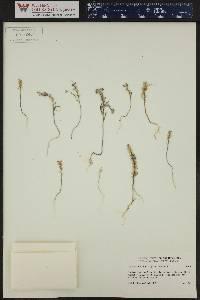 Alyssum desertorum var. desertorum image