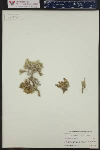 Atriplex corrugata image
