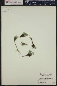 Townsendia leptotes image