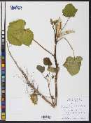 Abelmoschus esculentus image