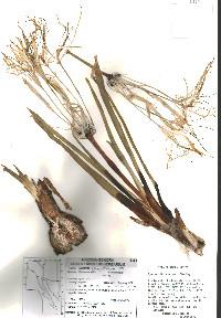 Hymenocallis sonorensis image