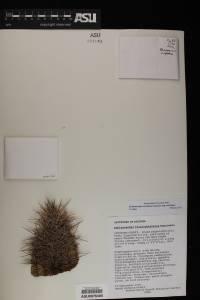 Echinocereus coccineus subsp. coccineus image