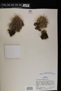 Echinocereus coccineus image