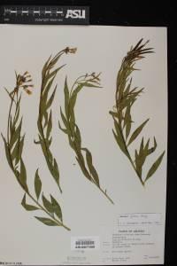 Amsonia palmeri image