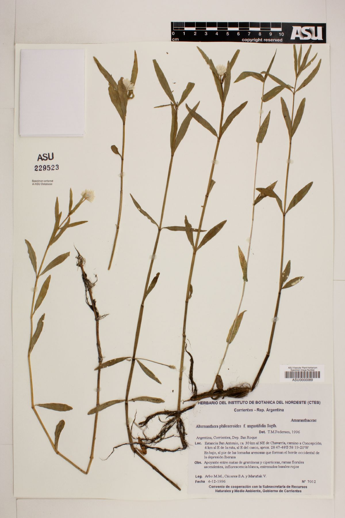 Alternanthera philoxeroides f. angustifolia image