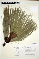 Image of Pinus engelmannii