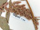 Amaranthus quitensis image