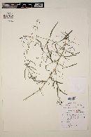 Carlowrightia pectinata image