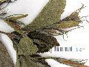 Ruellia intermedia image