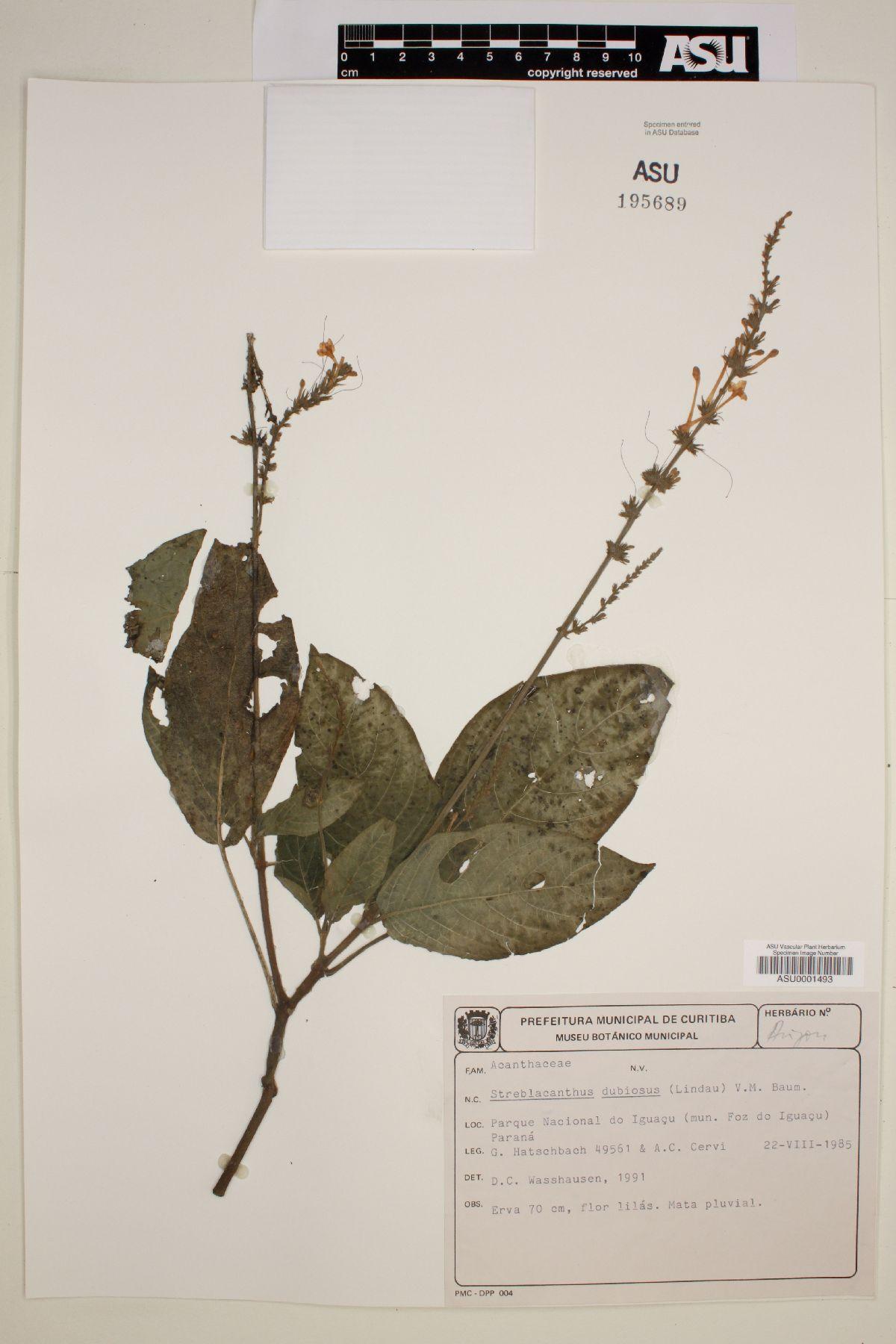 Streblacanthus dubiosus image