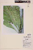 Image of Campyloneurum fuscosquamatum