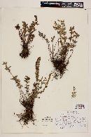 Image of Cheilanthes aliena