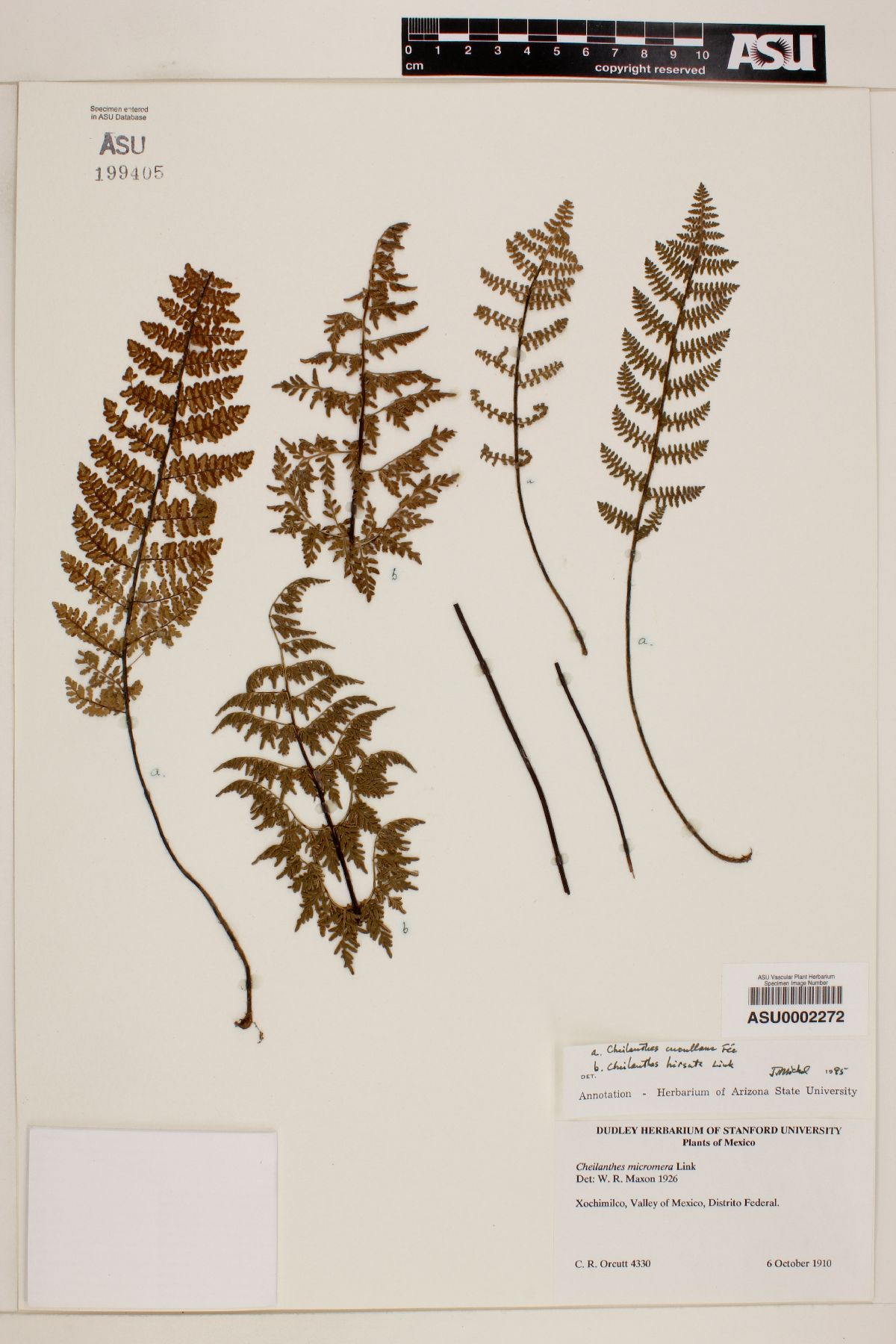 Cheilanthes cucullans image