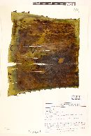 Image of Agave tecta
