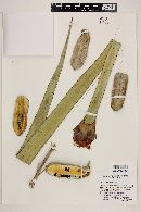 Yucca grandiflora image