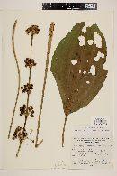 Image of Echinodorus andrieuxii