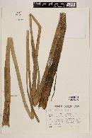 Echinodorus paniculatus image