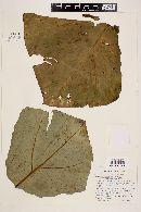 Xanthosoma robustum image