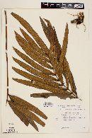 Image of Goniophlebium triseriale