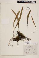 Pleopeltis peltata image