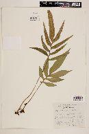 Image of Polypodium colysoides
