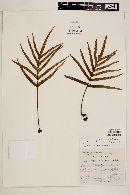 Image of Polypodium lepidotrichum