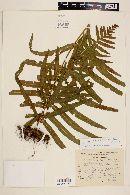 Image of Polypodium longepinnulatum