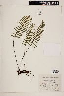 Image of Polypodium oulolepis