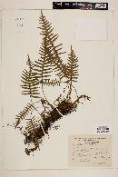 Image of Polypodium platylepis
