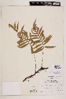 Image of Polypodium pleolepis