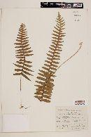 Image of Polypodium rhodopleuron