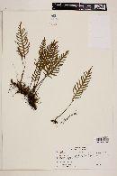 Image of Polypodium tweedianum