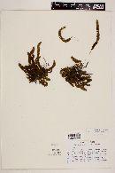 Image of Terpsichore spathulata