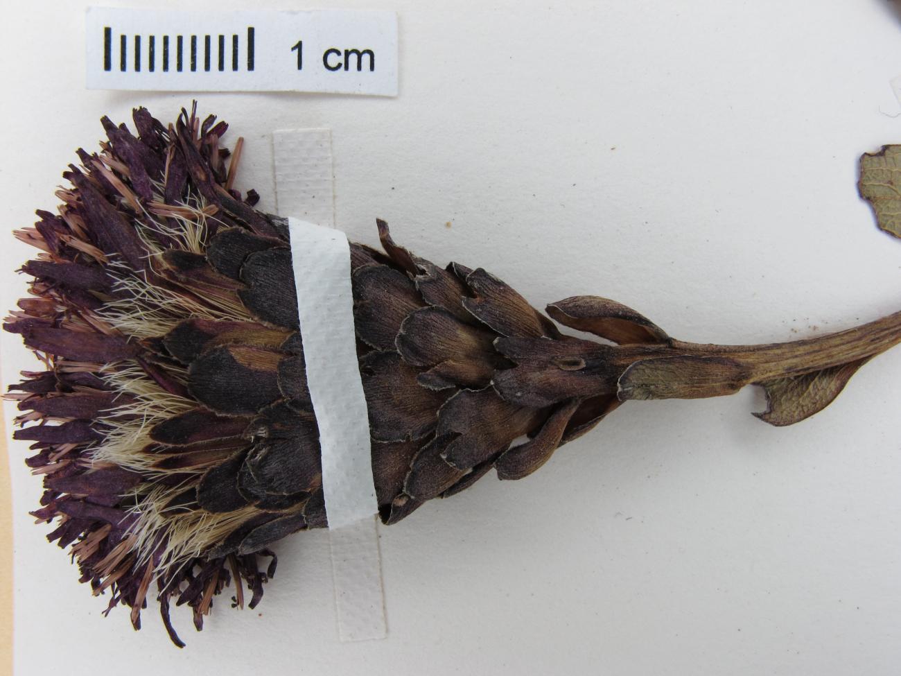 Acourtia wislizeni image