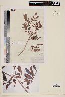 Psidium appendiculatum image