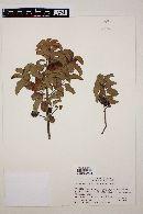 Image of Schinus latifolius