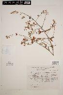 Image of Acacia painteri