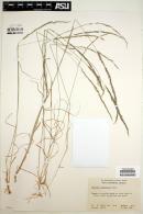 Image of Agrostis pallens