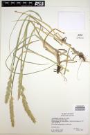 Image of Ammophila arenaria