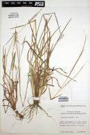 Image of Andropogon liebmanni