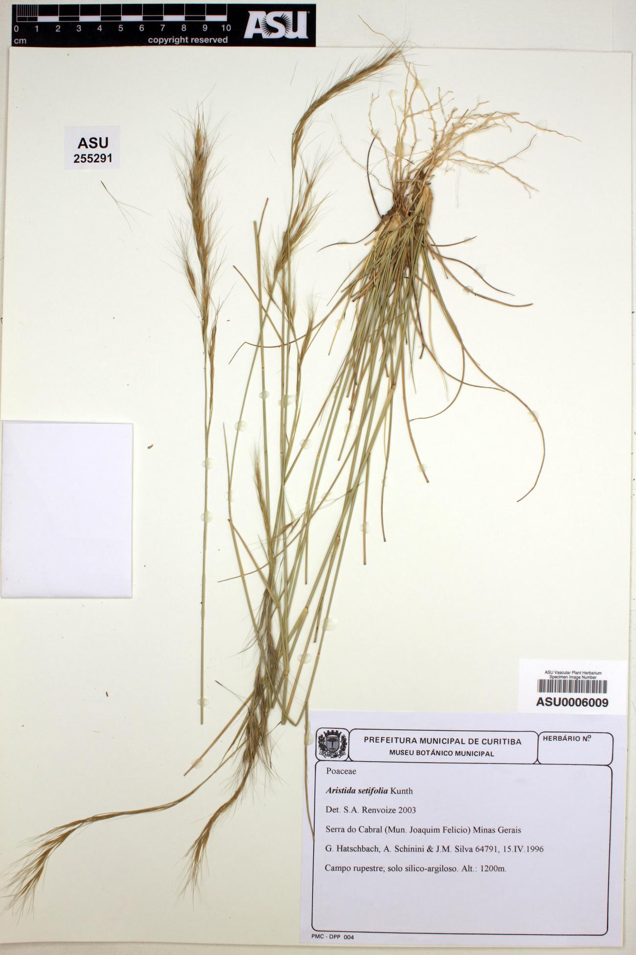 Aristida setifolia image