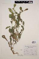 Blumea viscosa image