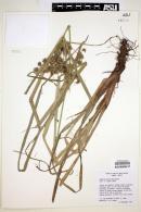 Cyperus entrerianus image