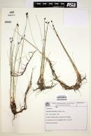 Eleocharis maculosa image