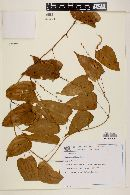 Image of Dioscorea altissima